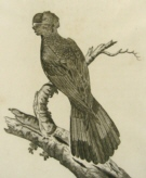 Birds of Australia Governor Phillip
