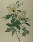 Botanical prints, Joseph Banks
