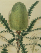 Curtis Botanical prints
