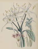 Botanical prints, Jane Webb Loudon